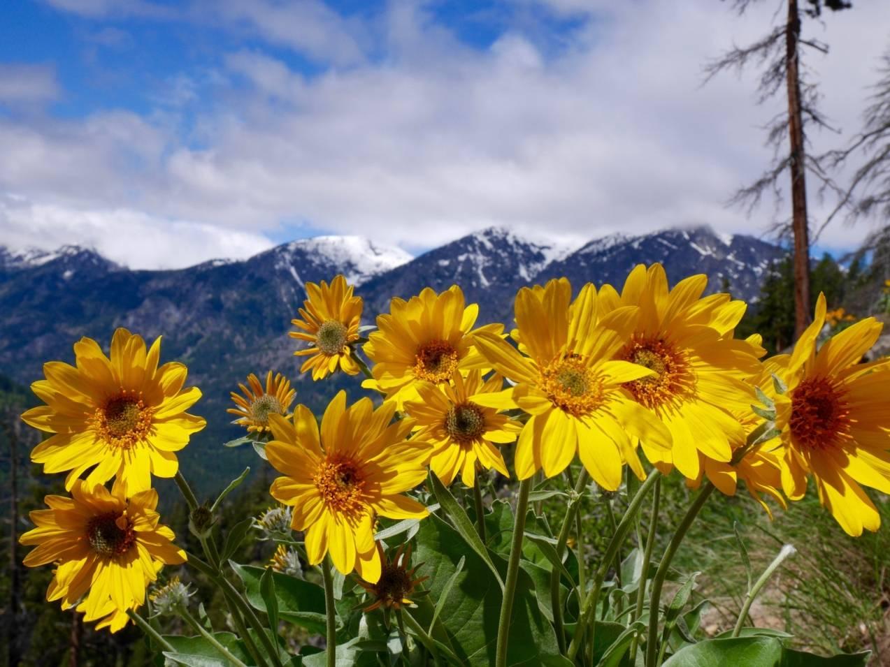 Arnica montana - lek homeopatyczny.