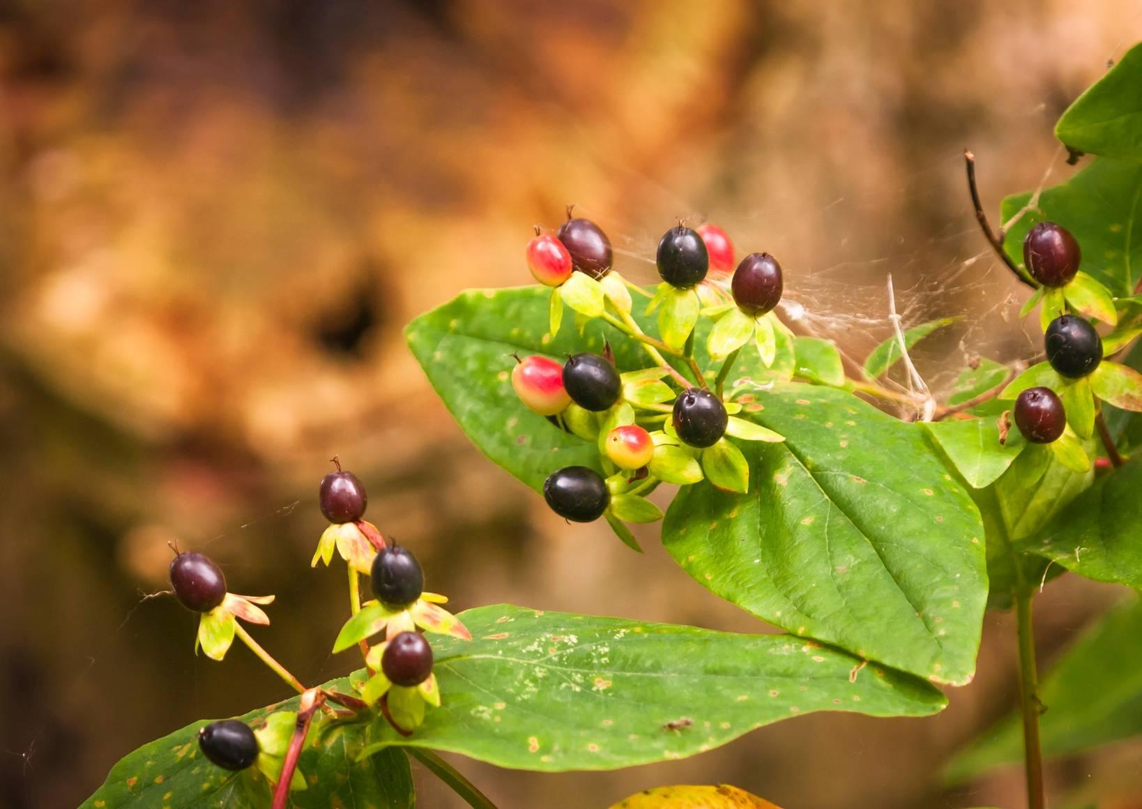 Belladonna stosowana w leczeniu homeopatycznym