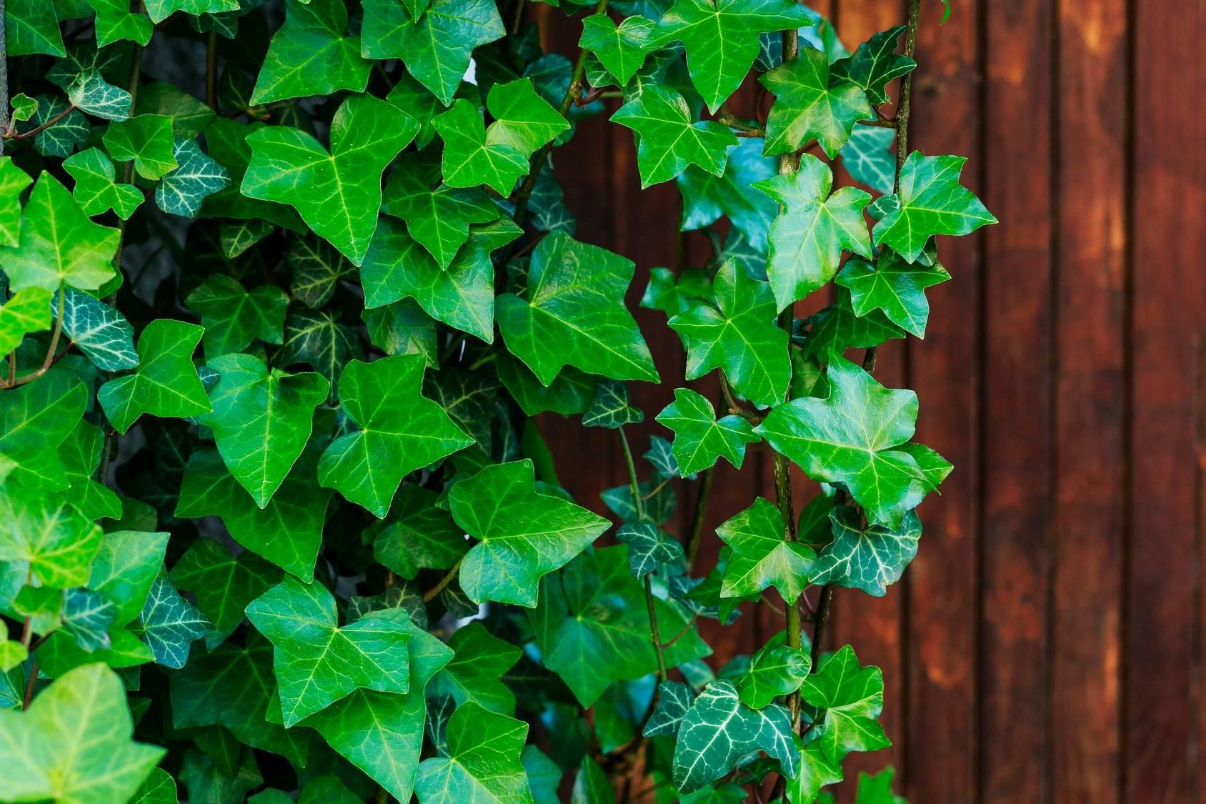 Bluszcz pospolity - trująca roślina doniczkowa. Bluszcz wiszący na płocie.
