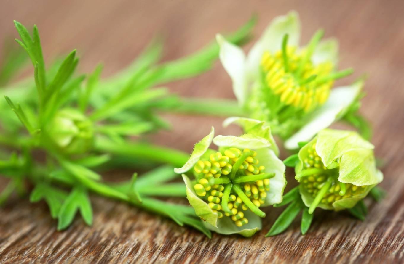 Czarnuszka jest stosowana w lecznictwie i w kuchni. Roślina czarnuszka Nigella sativa.