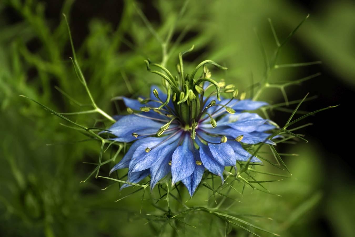 Czarnuszka jest stosowana w lecznictwie i w kuchni. Roślina czarnuszka Nigella damascena.