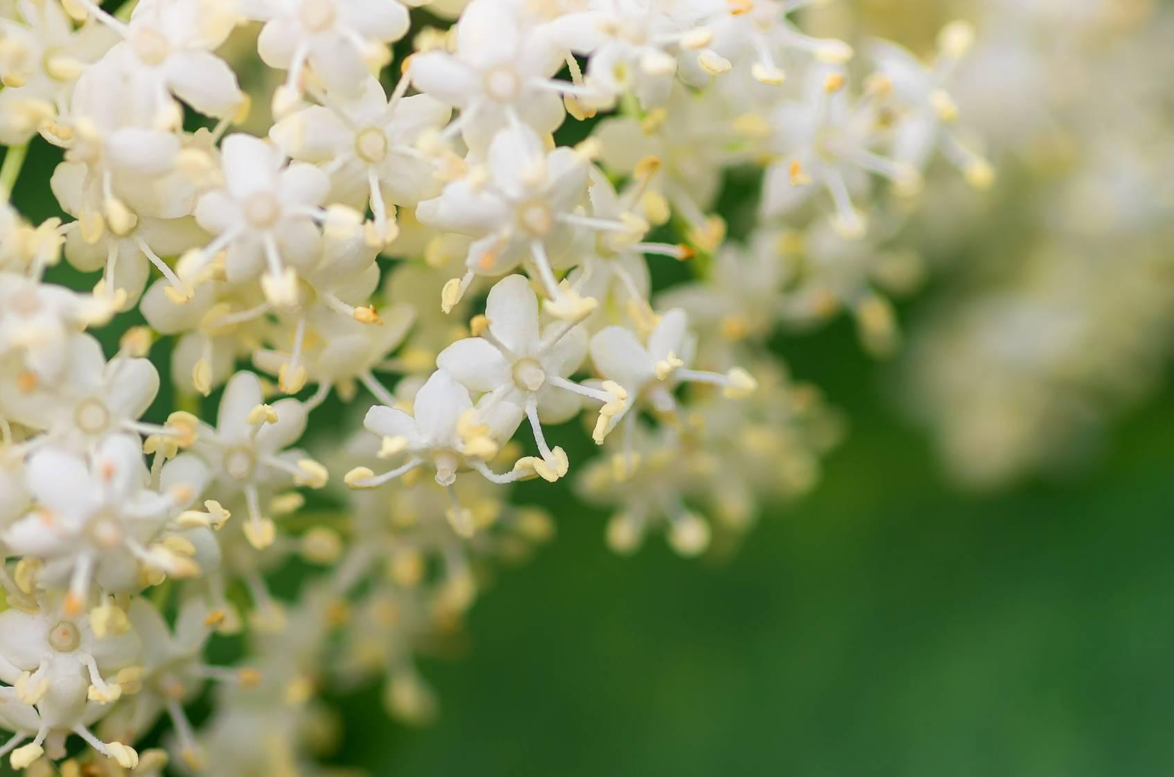 Kwiaty czarnego bzu w dużym przybliżeniu.