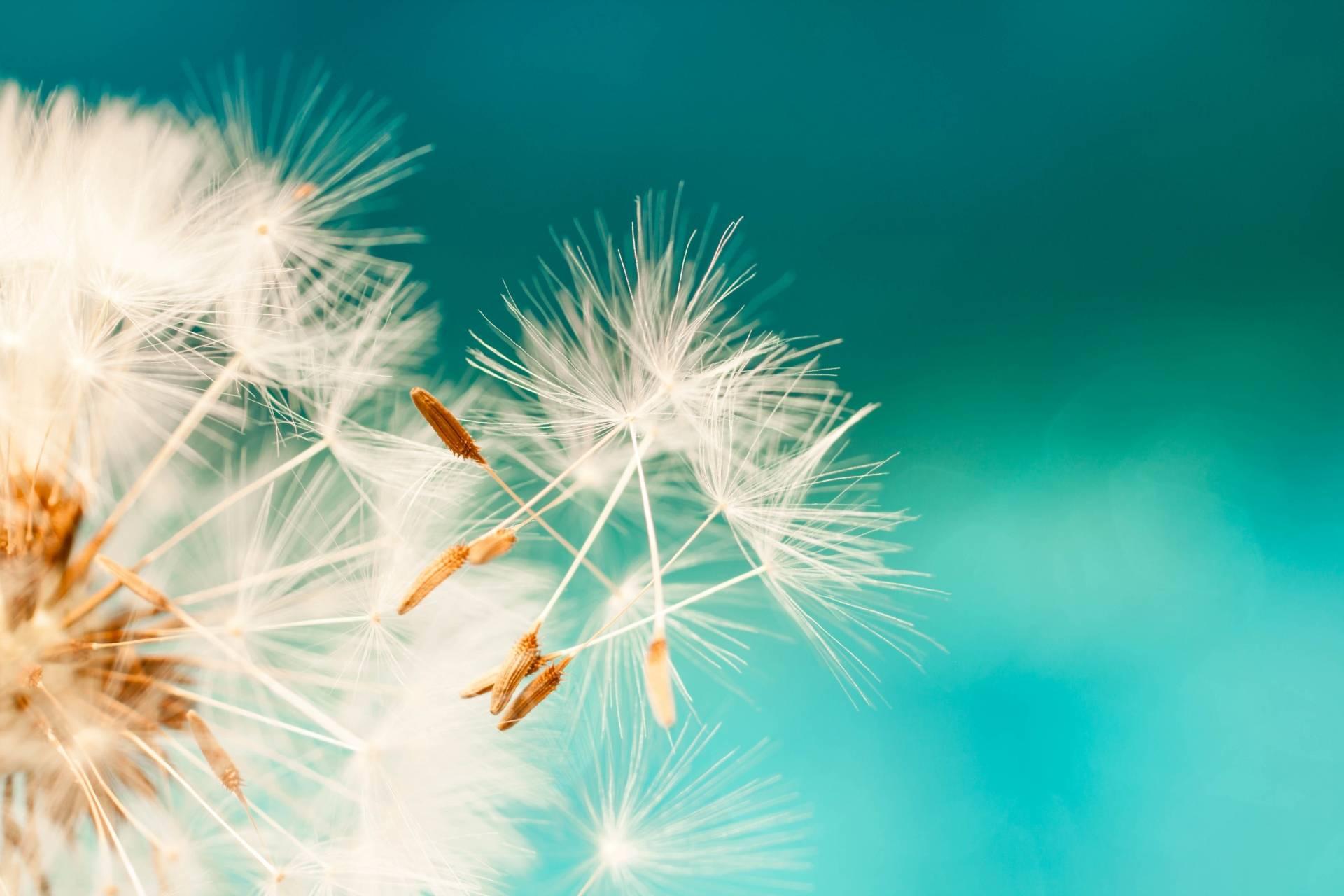 Jak pokonać alergię na pyłki? Zbliżenie na biały dmuchawiec na niebieskim tle.