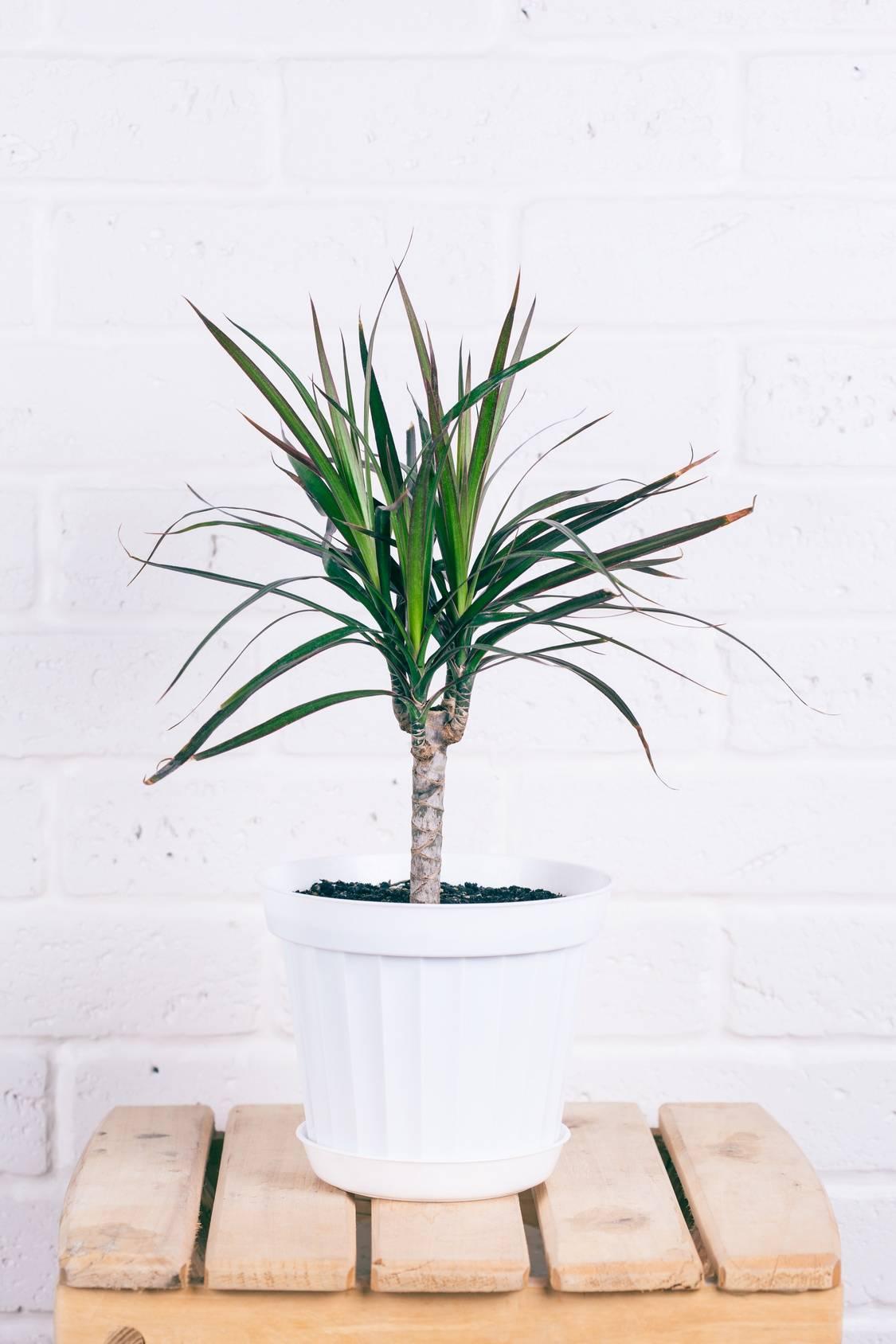 Dracena - trująca roślina doniczkowa. Dracena w białej plastikowej doniczce stoi na drewnianym stołku na tle białej ściany z cegły.