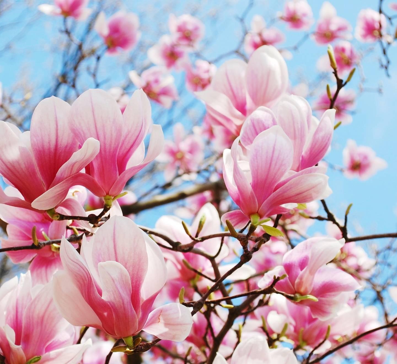 Magnolia lekarska - sprawdź, jakie ma właściwości.
