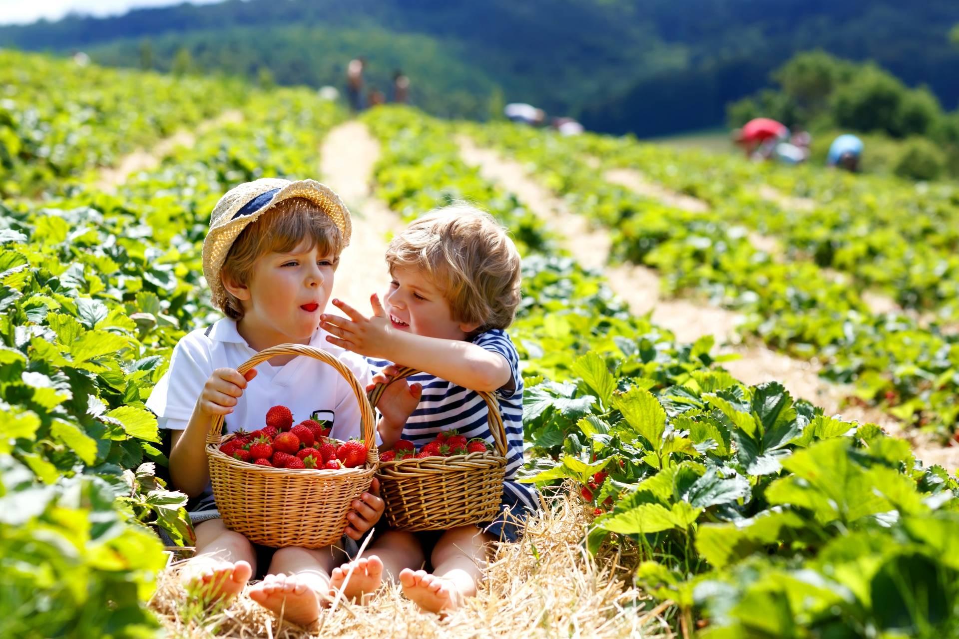 Mali chłopcy siedzą w polu i zajadają się zebranymi truskawkami z koszyka. Jak rozpoznać pasożyty u dzieci i jak je leczyć?