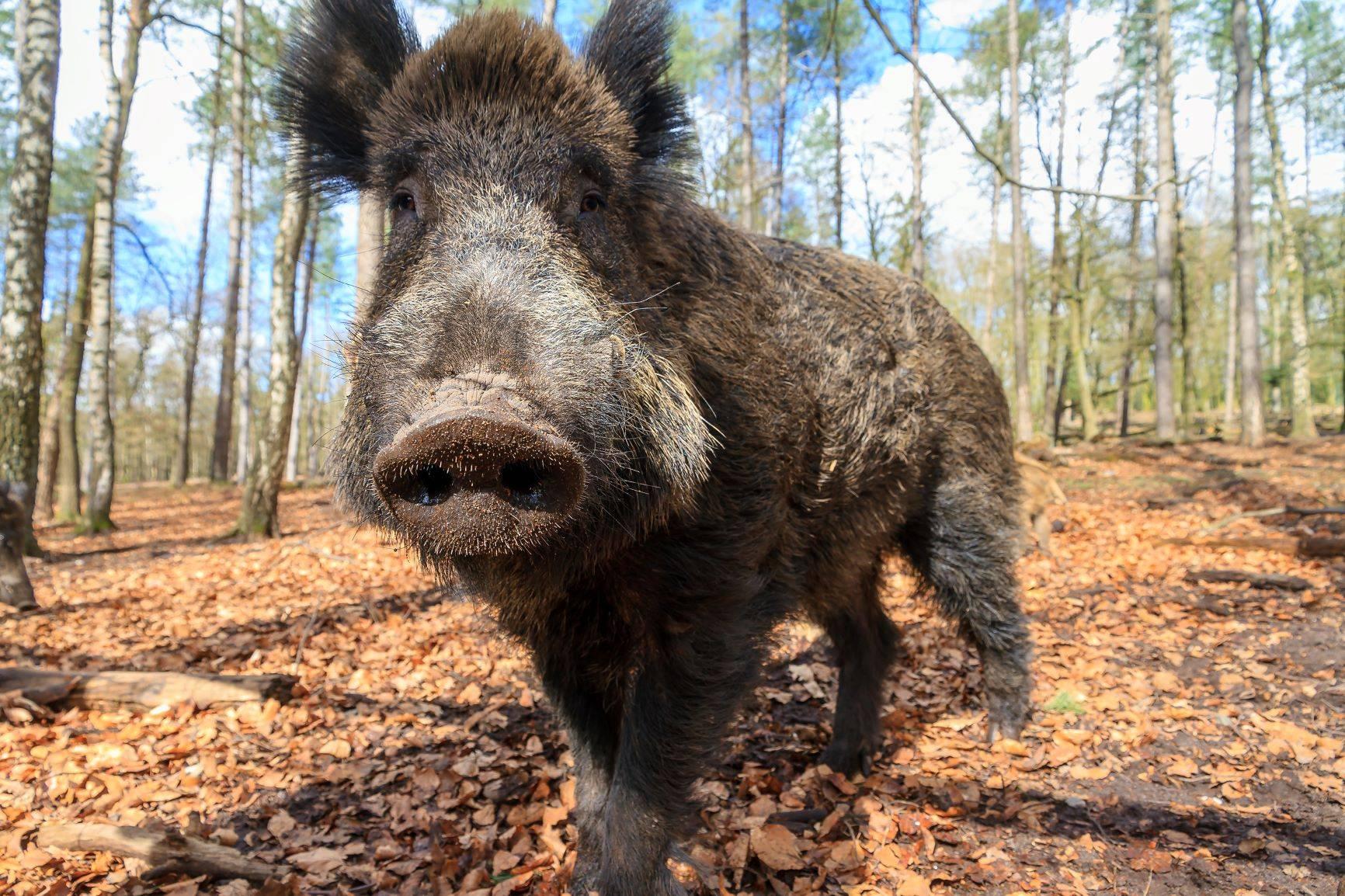 Dzik w lesie - czy ustawa o polowaniach na dziki jest zasadna? Odpowiada Adam Wajrak.