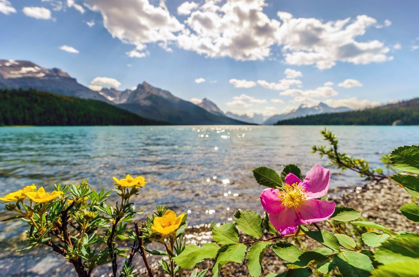 Dzika róża kwitnąca nad brzegiem górskiego jeziora.