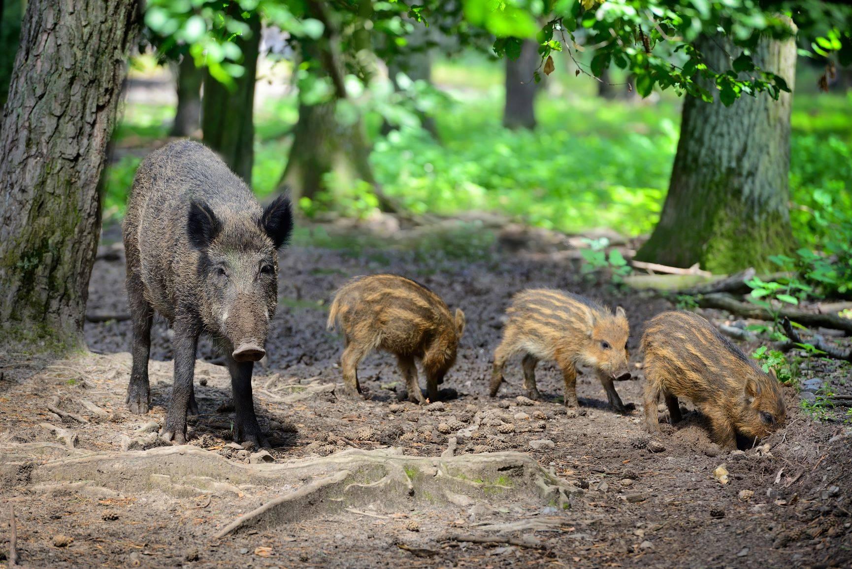 Mama z małymi dzikami - Adam Wajrak o polowaniu na dziki.