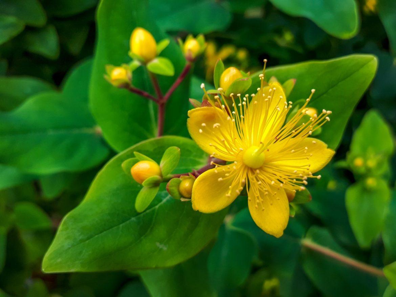 Dziurawiec zwyczajny - właściwości i zastosowanie. Zbliżenie na żółty kwiat dziurawca (Hypericum perforatum).