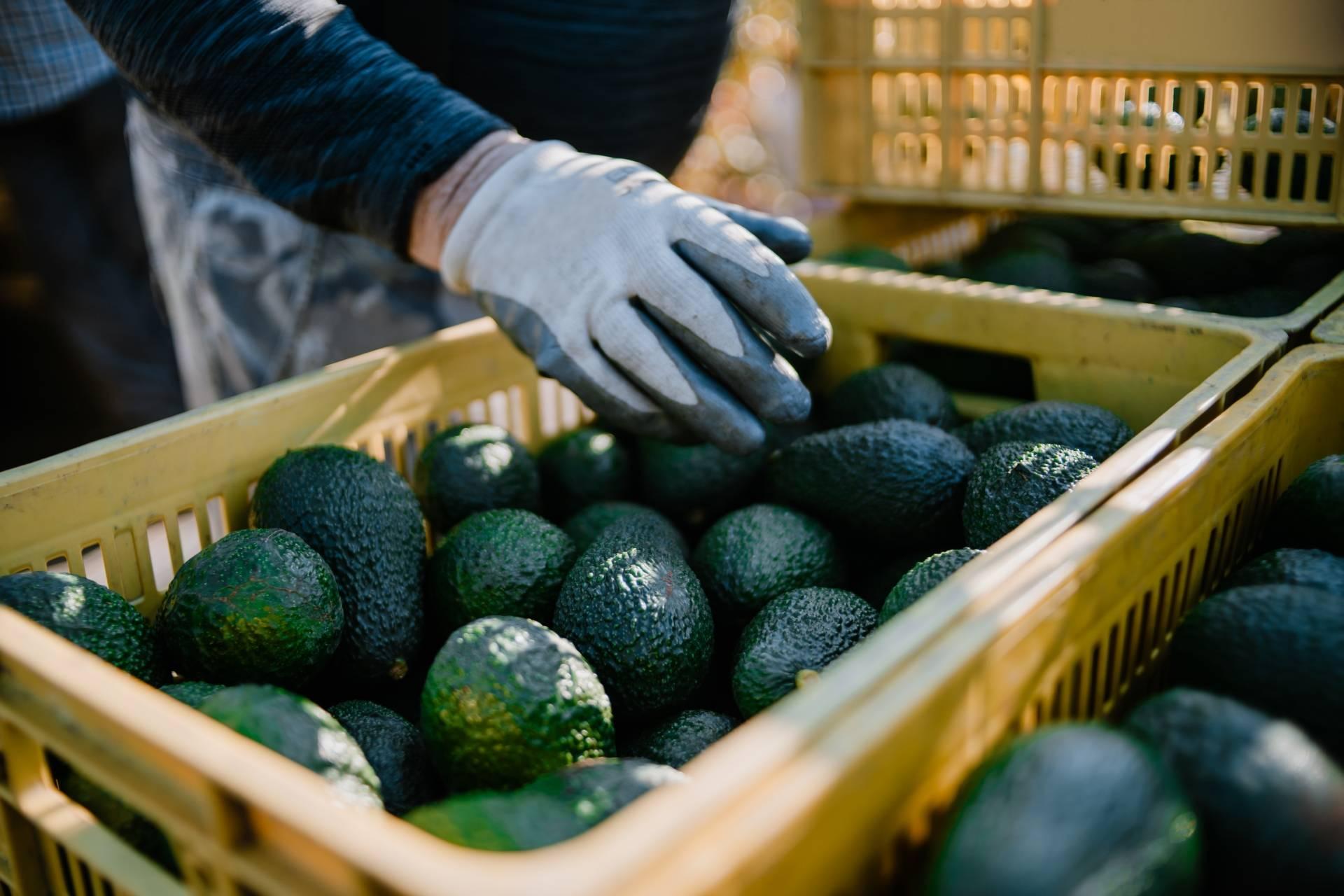 Awokado w skrzynkach gotowe do eksportu. Jak uprawa awokado wpływa na środowisko i życie rolników w Ameryce Południowej?
