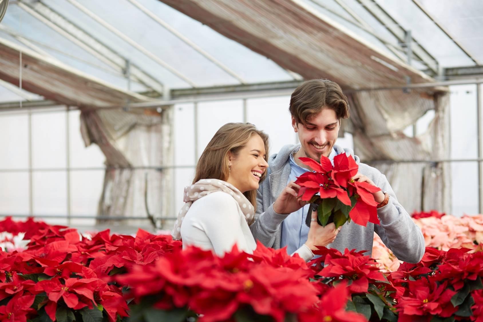 Gwiazda betlejemska - trująca roślina doniczkowa. Szczęśliwa para wybiera w kwiaciarni gwiazdę betlejemską.