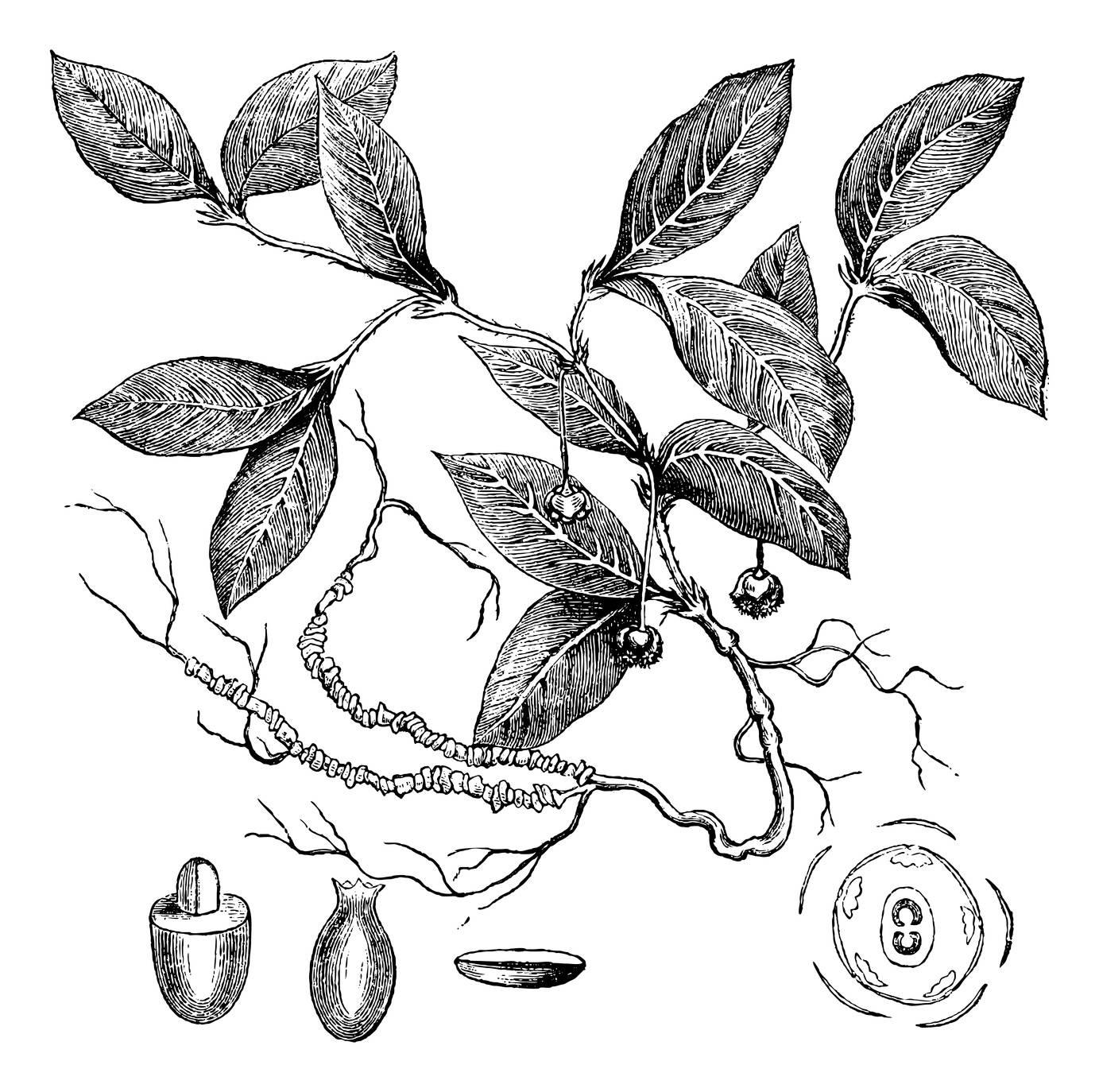 Ipeca - lek homeopatyczny na kaszel i nudności.