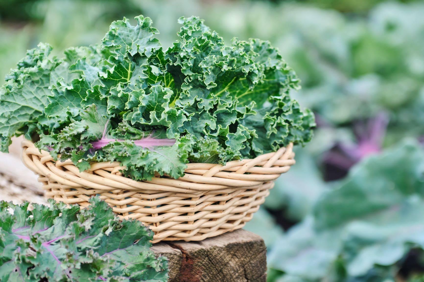 Jarmuż - właściwości i przepisy na zdrowe dania.