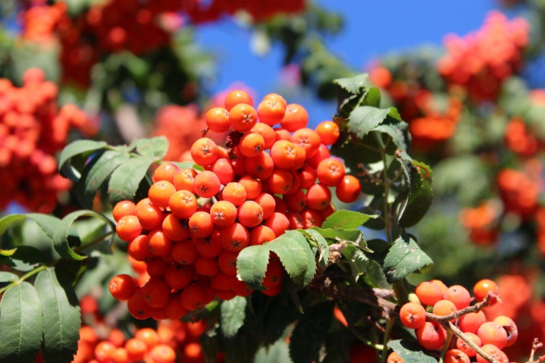 Jarzębina - jarząb pospolity - właściwości i przepisy na przetwory z jarzębiny. Czerwone owoce jarzębiny na drzewie.