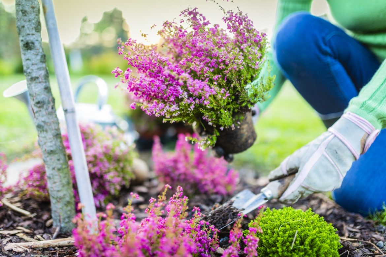 Jesień w ogrodzie - jak zadbać o ogród i taras jesienią i co sadzić? Kobieta sadzi w ogródku piękne fioletowe wrzosy.