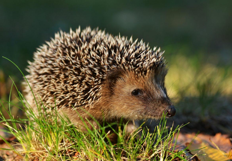 Jeż w ogródku - co jedzą jeże i jak o nie dbać? Jak pomóc jeżowi w tarapatach?