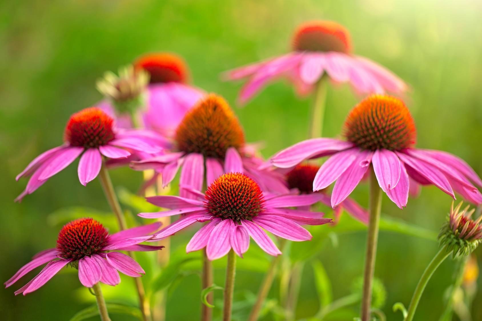 Mieszanki ziołowe na przeziębienie - jeżówka purpurowa na łące.