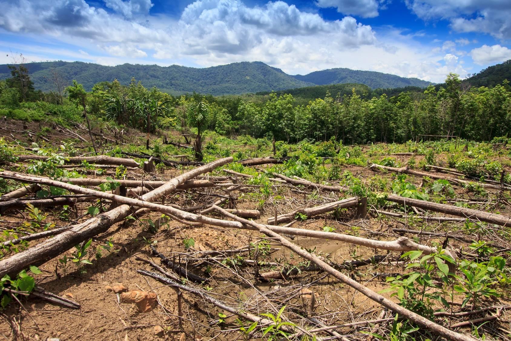 Wykarczowany las topikalny pod plantację oleju palmowego. Olej palmowy zagraża naturalnemu środowisku zwierząt zamieszkujących indonezyjską i malezyjską dżunglę.