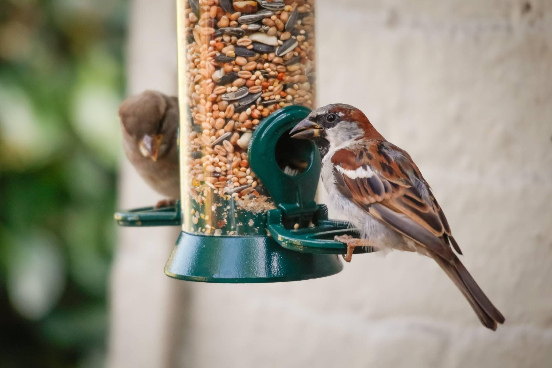 Nowoczesny karmnik dla ptaków. Jak dokarmiać ptaki? Co jedzą wróble?