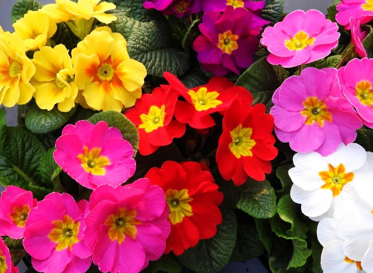 Zbliżenie na kolorowe prymulki (pierwiosnki). Jakie kwiaty wiosenne wybrać na balkon?