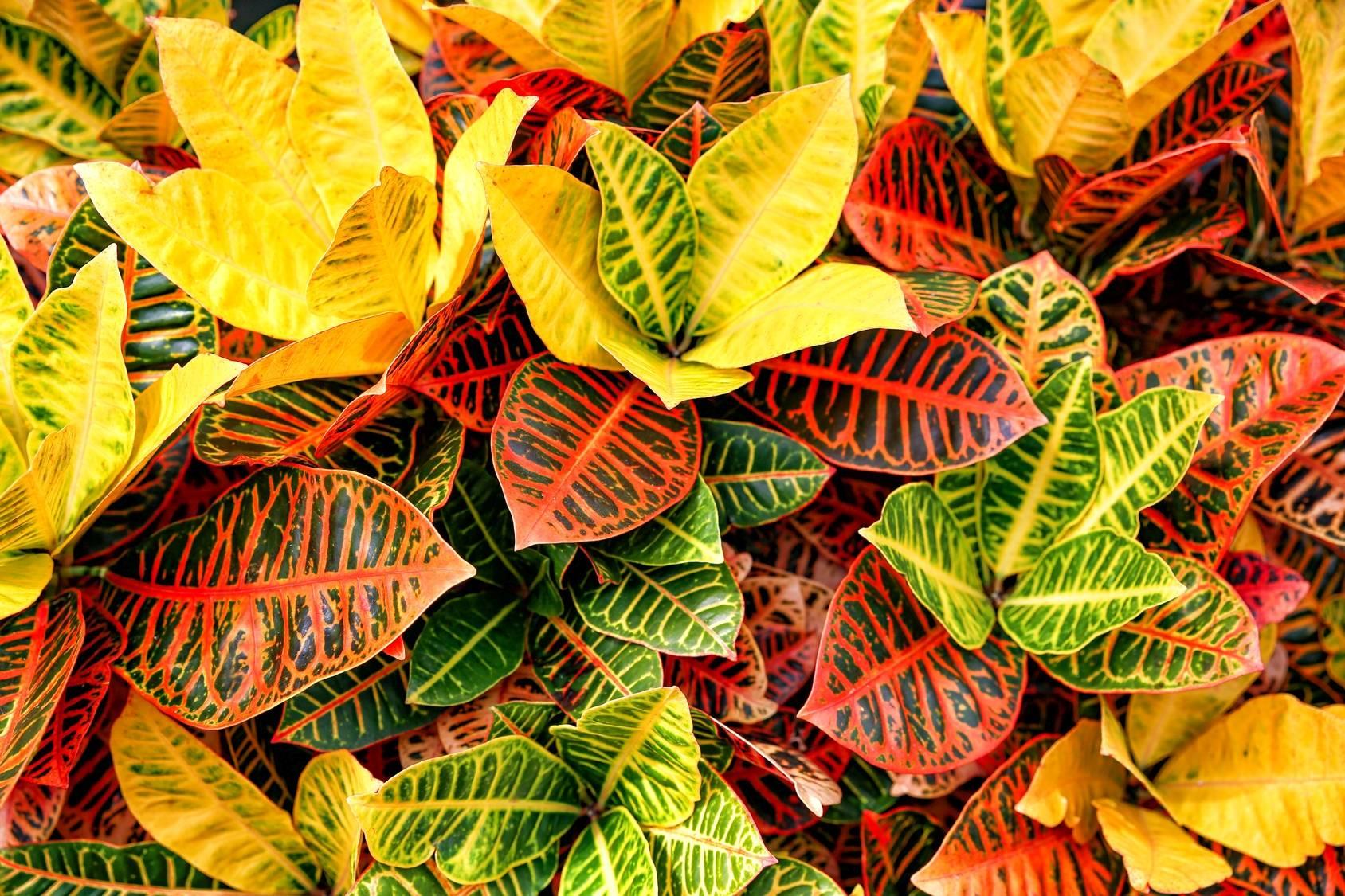 Kroton - trująca roślina doniczkowa.