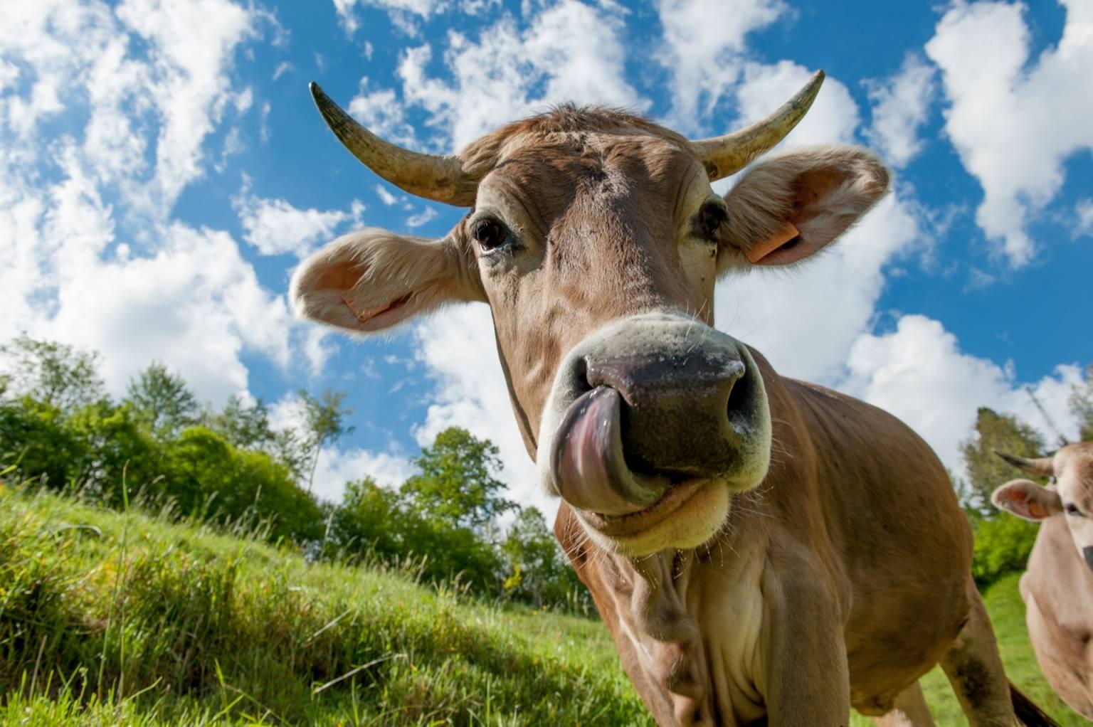 Wegetarianizm - dlaczego warto przejść na zieloną stronę mocy? Krowa pokazuje język do obiektywu.