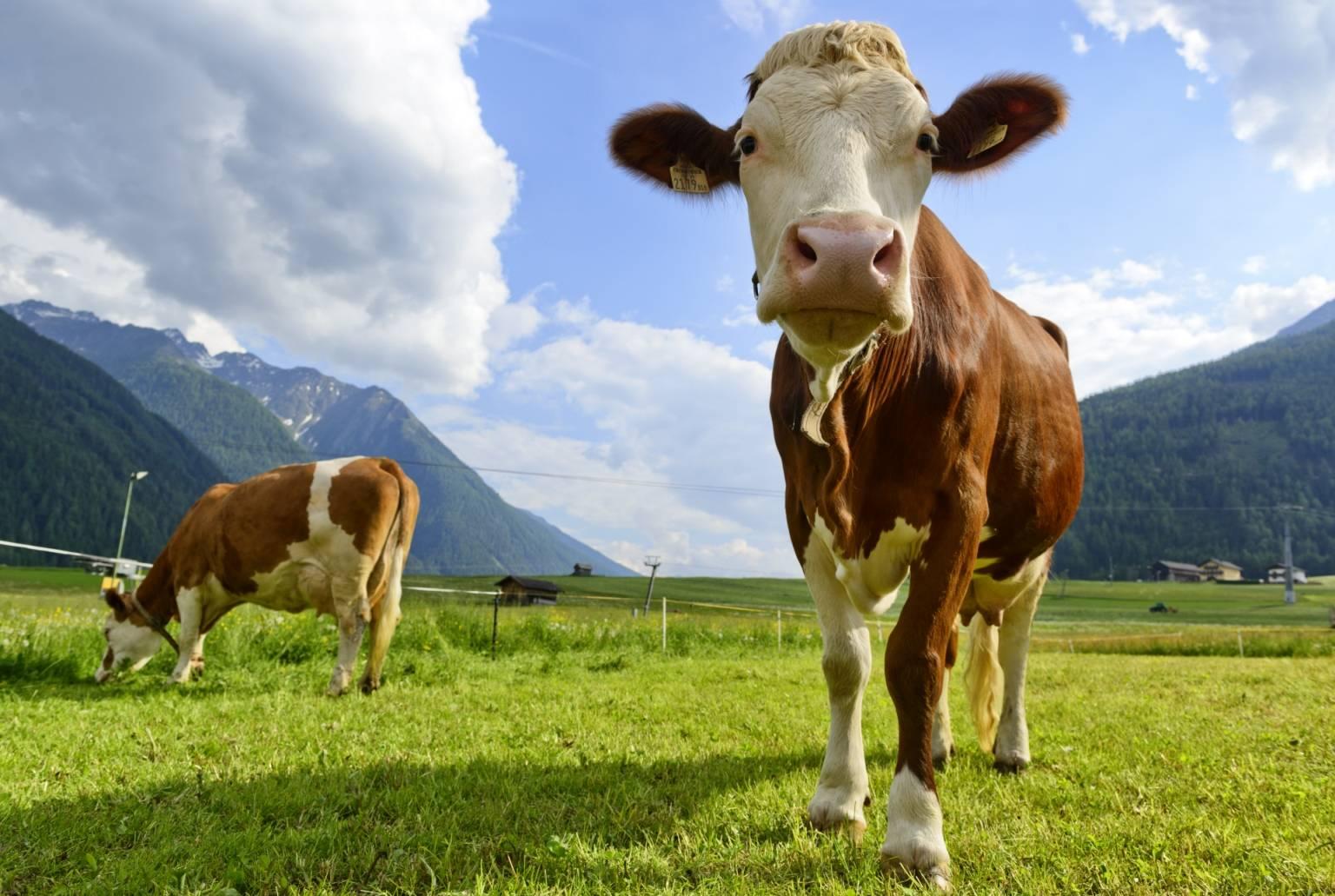 Krowy pasą się na łące, jedna zbliża się do aparatu. Na czym polega wegetarianizm?