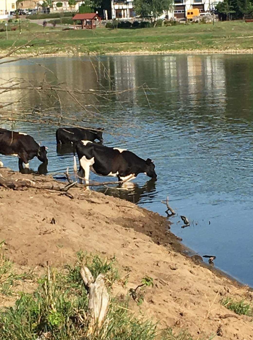 Wolne krowy z Deszczna.