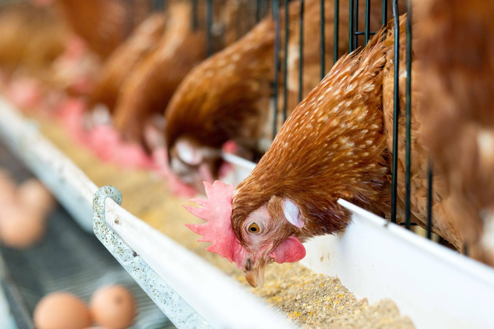 Trujące kurczaki - jeść czy nie?
