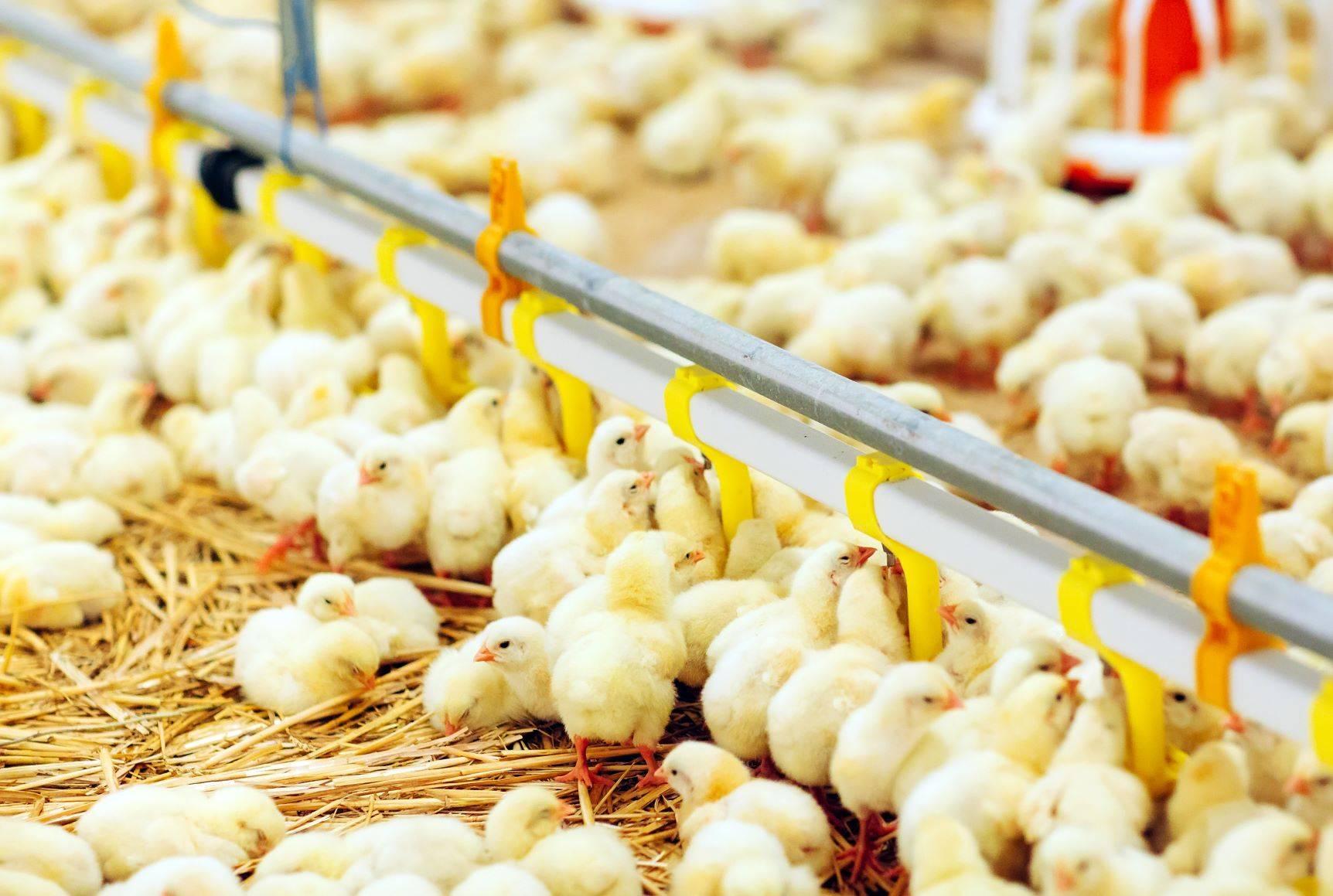 Kurczaki cierpią stłoczone na fermach. Czy ich mięso jest zdrowe?