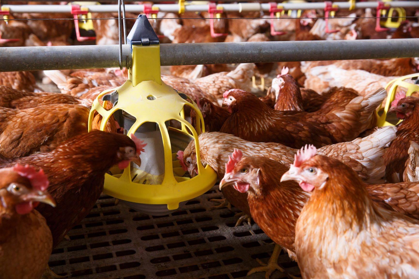 Kurczaki hodowlane - jeść czy nie jeść?