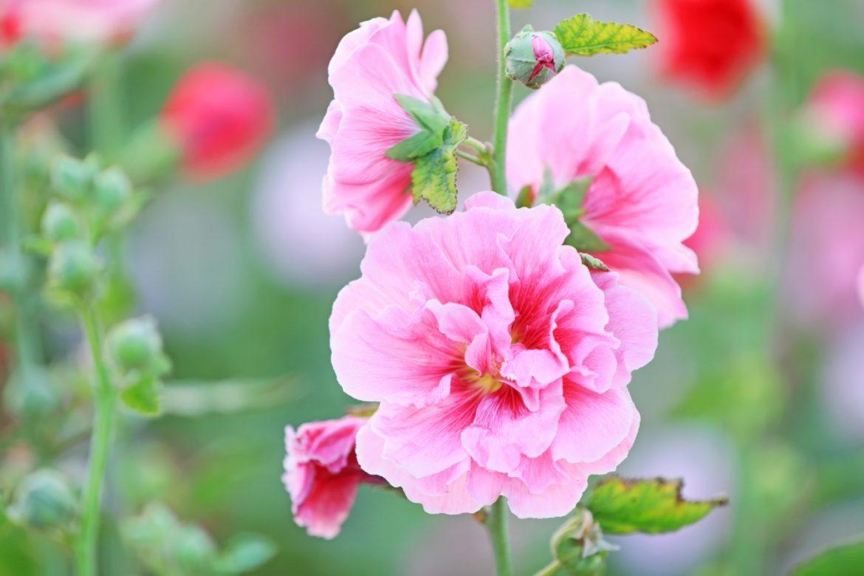 Prawoślaz lekarski - właściwości lecznicze, działanie i zastosowanie. Jak wygląda prawoślaz? Różowe kwiaty prawoślazu.