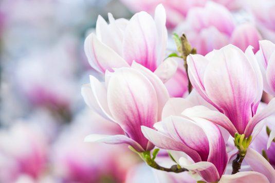 Różowy kwiat magnolii.