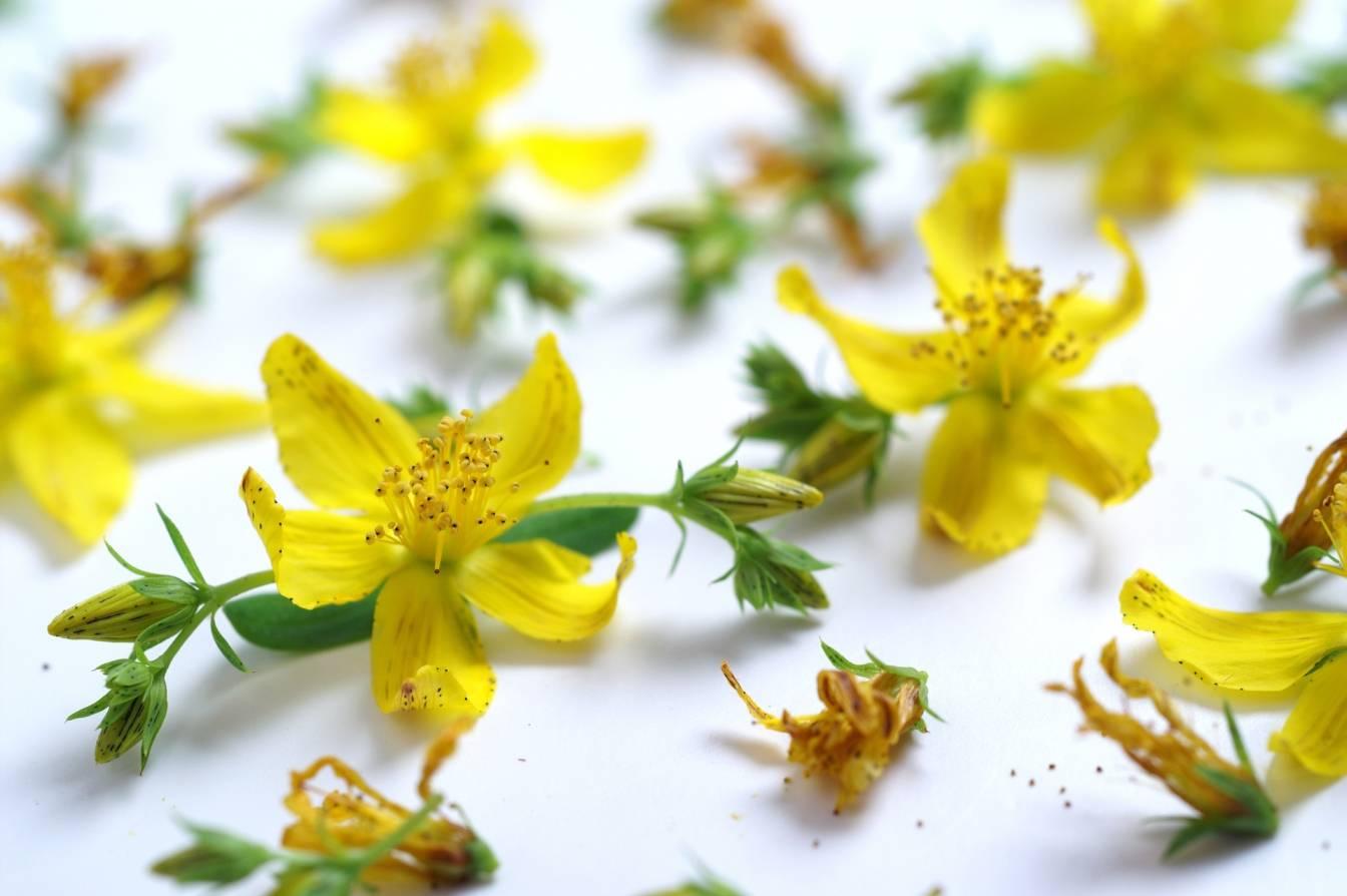 Dziurawiec zwyczajny - jakie ma właściwości? Żółte kwiatki ziela leżą na białym blacie.