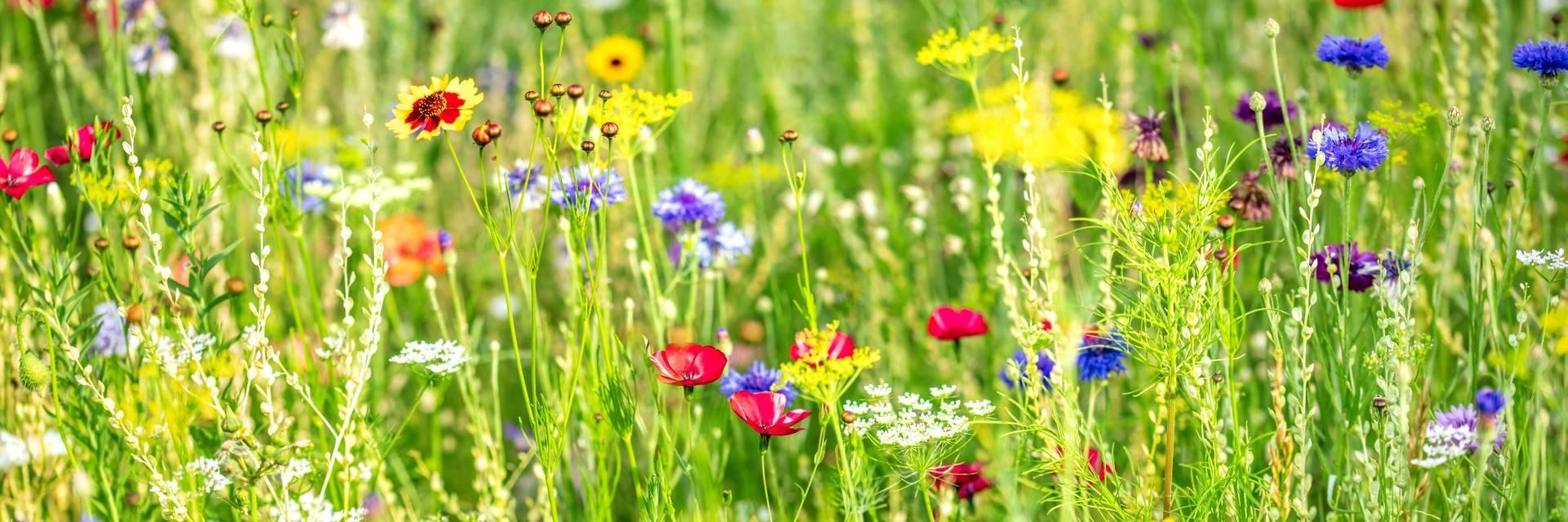 Łąka pełna polnych kwiatów. Naturalne środowisko owadów.