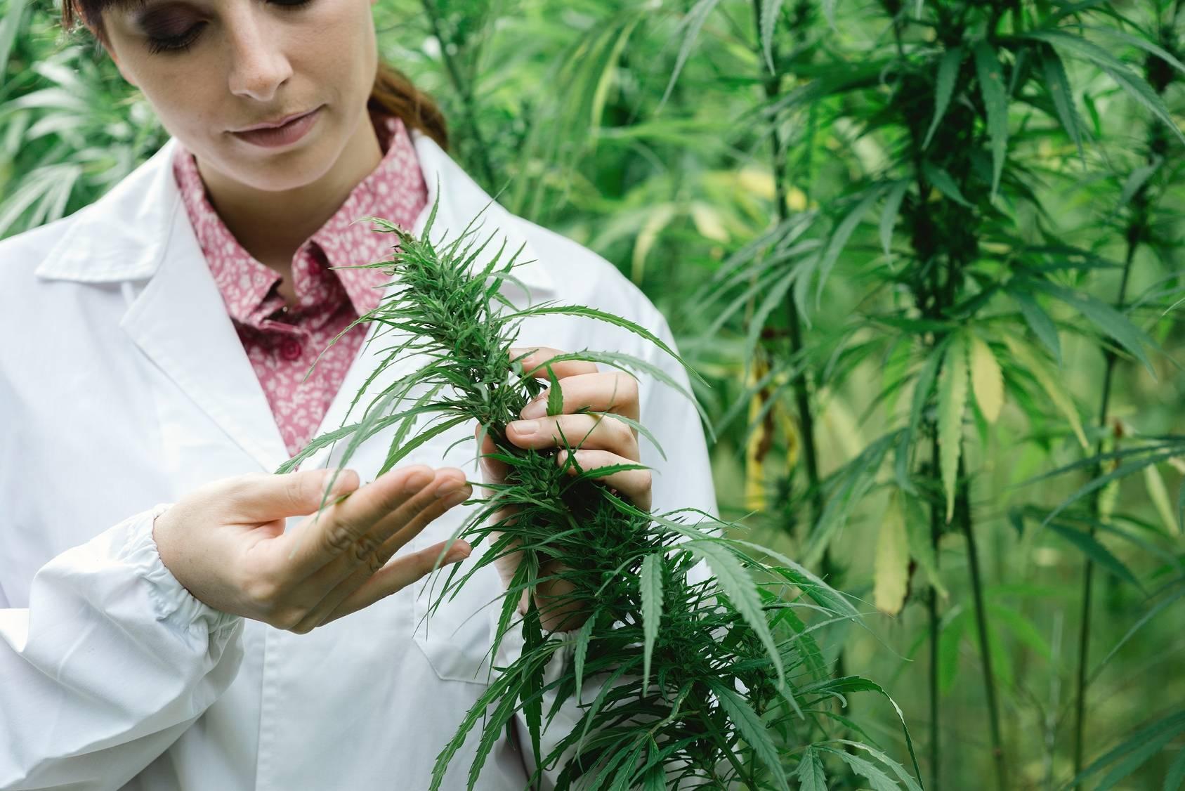 Legalna medyczna marihuana - jak z niej korzystać? Naukowczyni bada liście konopne na plantacji marihuany medycznej.