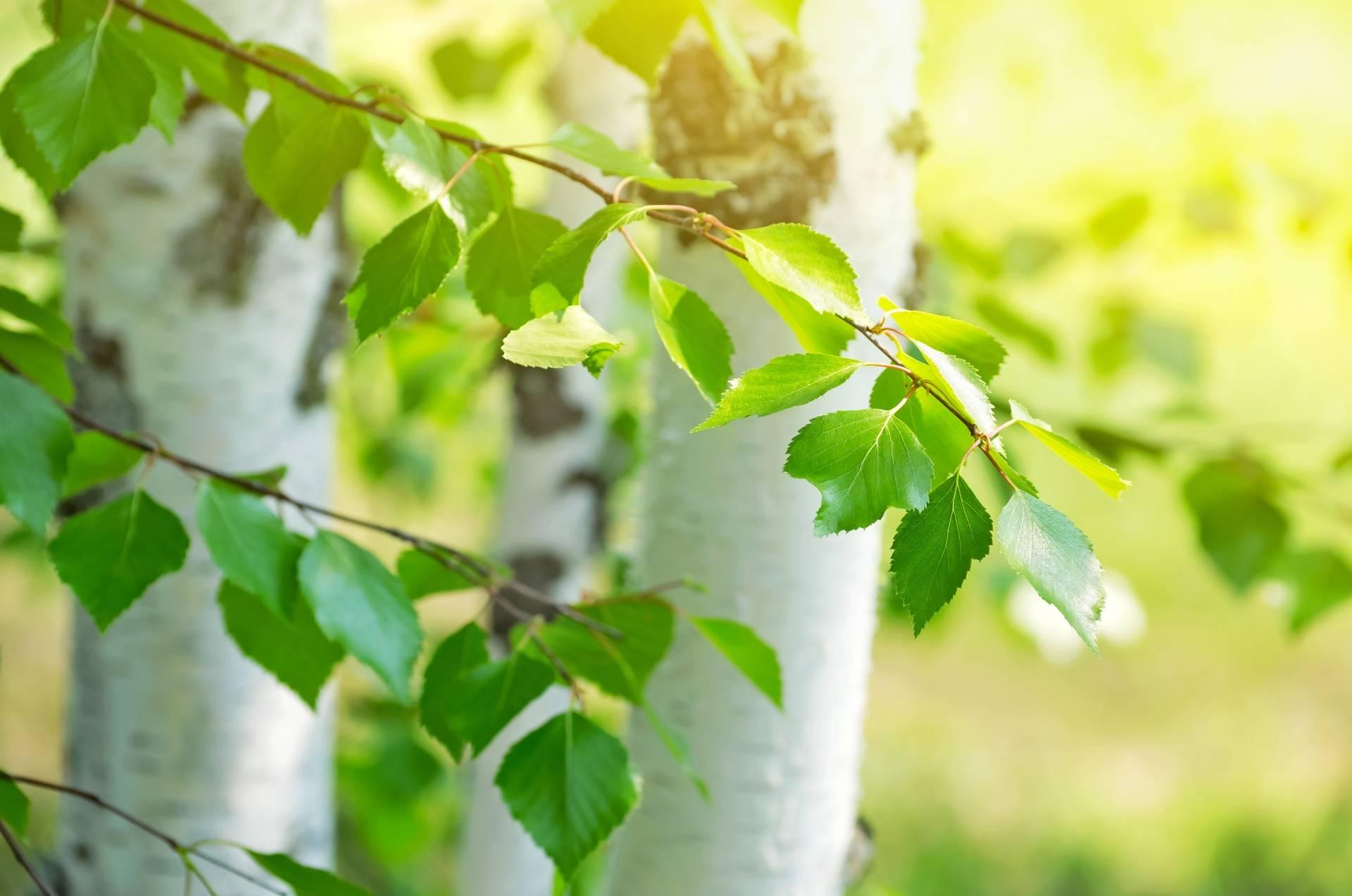 Liście brzozy w lesie. Które drzewa są jadalne?
