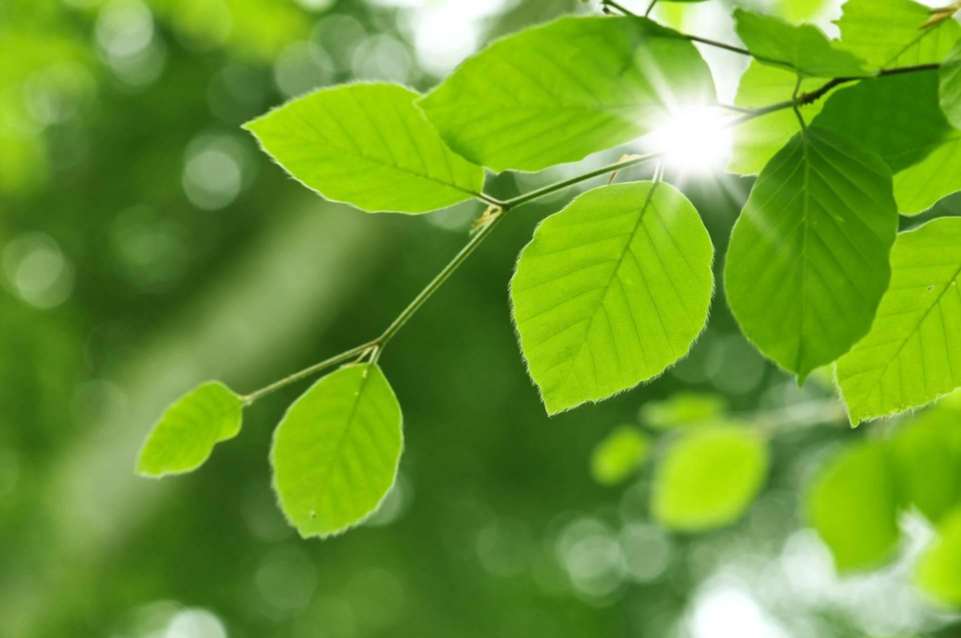 Liście buku podświetlone przez promienie słońca. Co można zjeść w lesie?