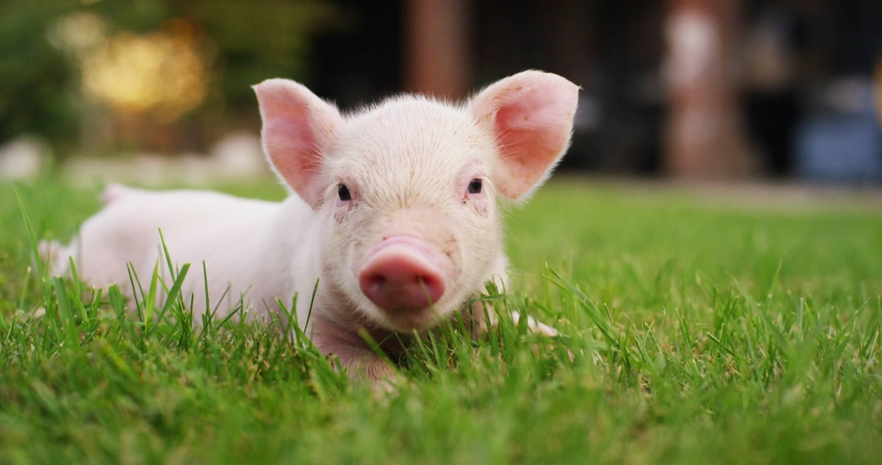 Malutka różowa świnka leży na zielonej trawie. Dlaczego warto zostać wegetarianinem?