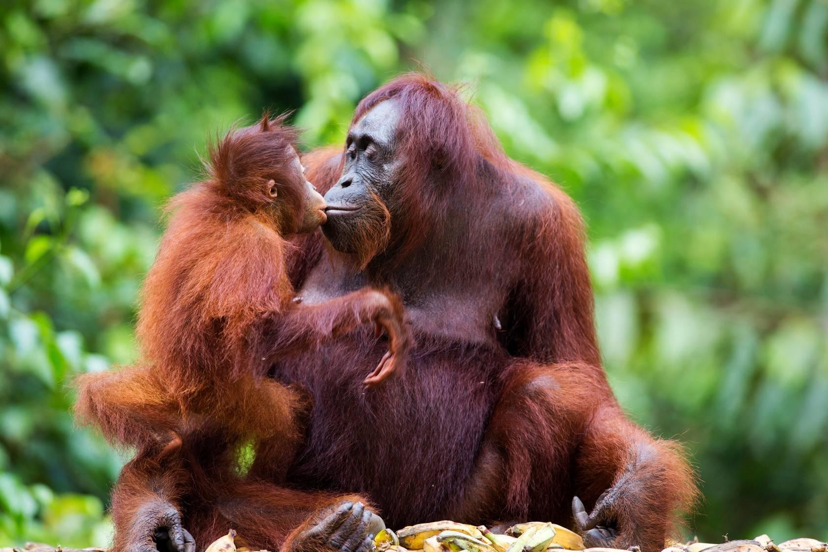 Orangutanica z małym orangutanem. Orangutany giną przez uprawę oleju palmowego.