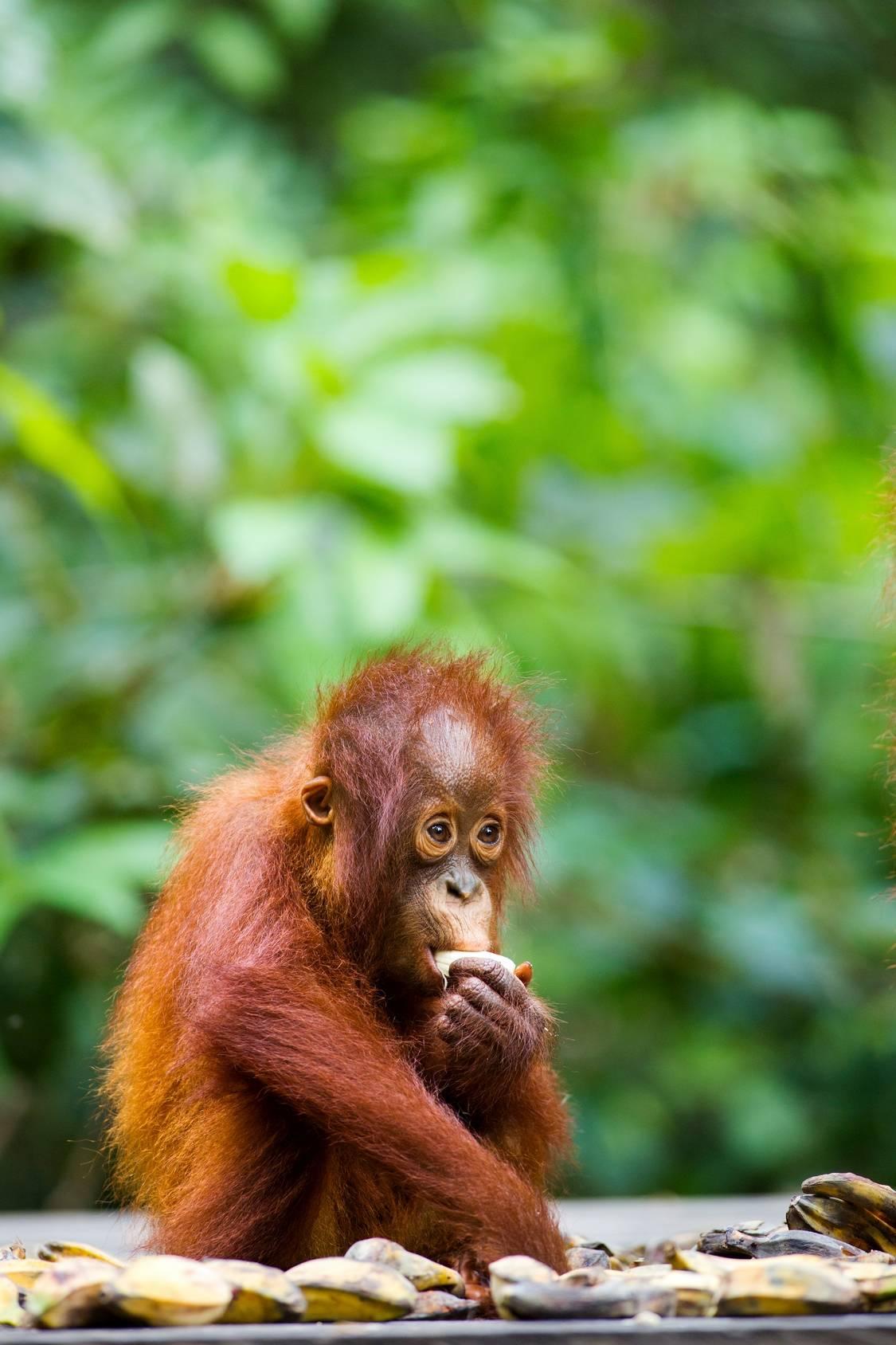 Mały orangutan je banana. Szkodliwość oleju palmowego.