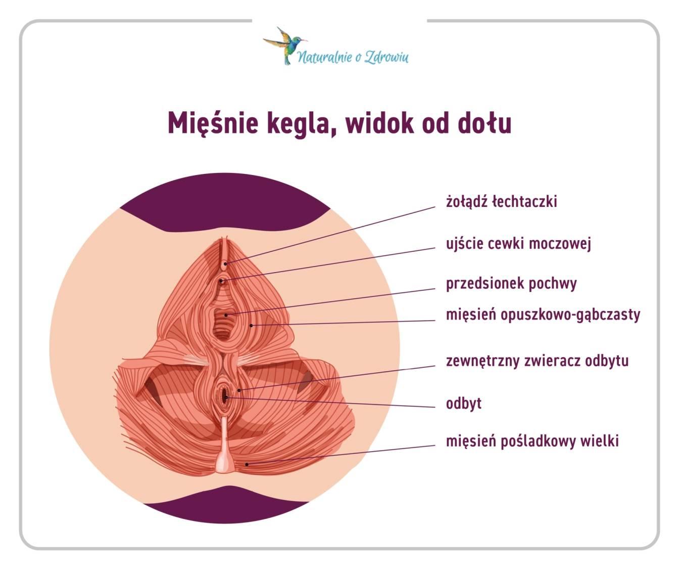 Jak zbudowane są mięśnie Kegla? - przekrój mięsni dna miednicy - infografika.
