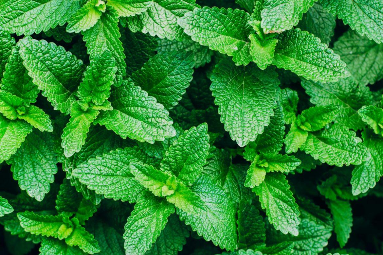 Mięta pieprzowa - właściwości lecznicze i zastosowanie. Zbliżenie na zielone liście mięty rosnące w skupisku w ogrodzie.