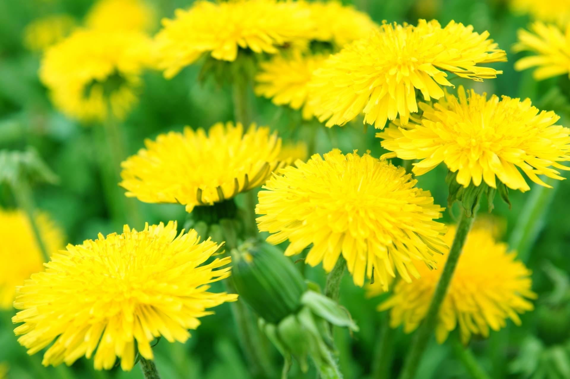 Żółte kwiaty mniszka lekarskiego na zielonej łące. Jakie cenne właściwości lecznicze mają dmuchawce?