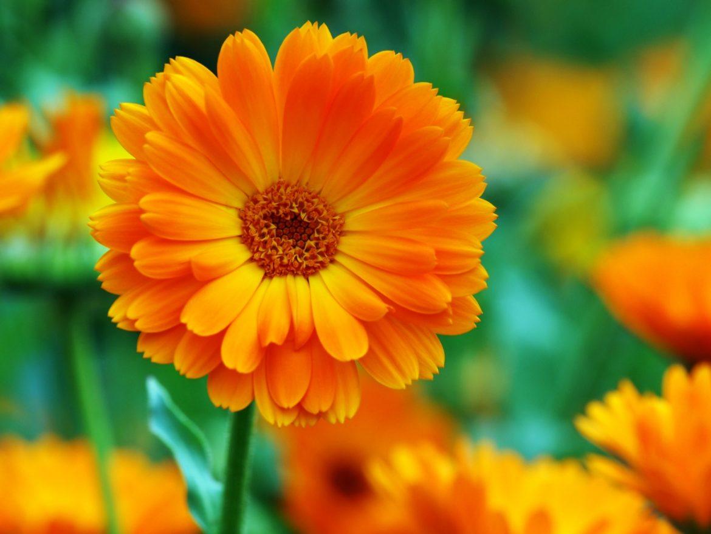 Nagietek lekarski - właściwości lecznicze i zastosowanie. Zbliżenie na kwiat nagietka na łące.