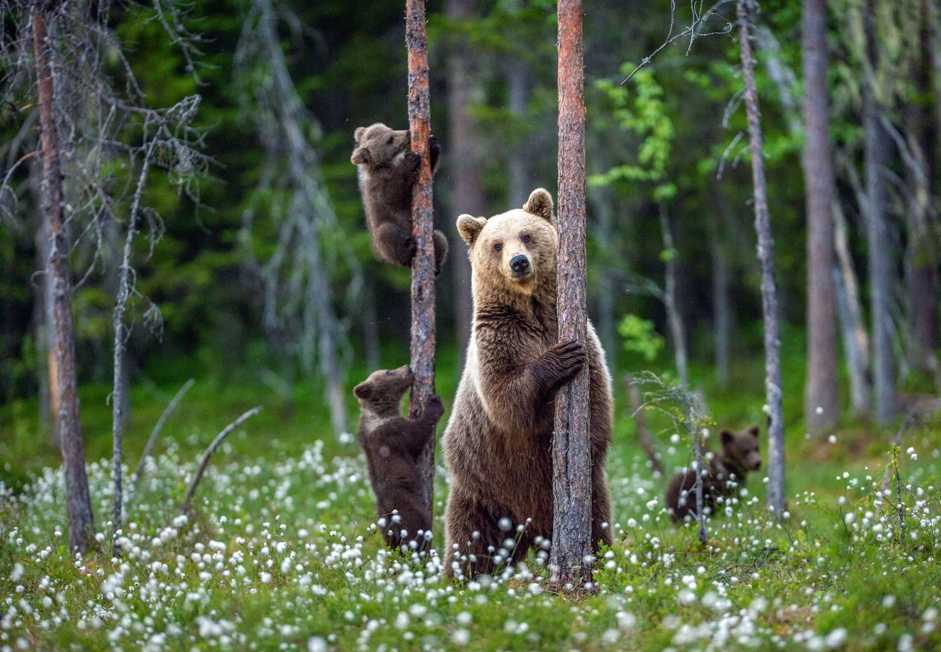 Co robić, gdy spotkamy w lesie niedźwiedzicę z małymi niedźwiadkami?