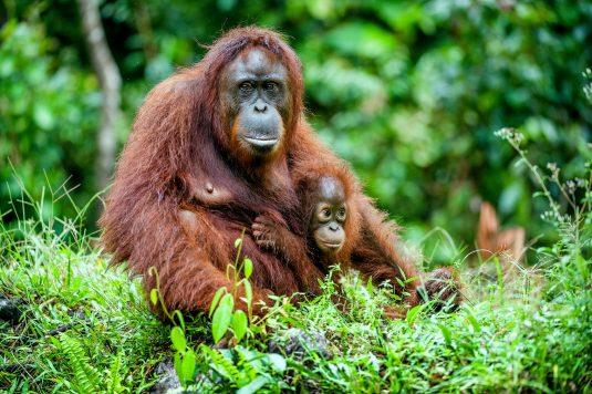 Mama orangutanica ze swoim dzieckiem w naturalnym środowisku na Borneo. Sprawdź, dlaczego olej palmowy jest szkodliwy nie tylko dla zdrowia, ale i dla środowiska.