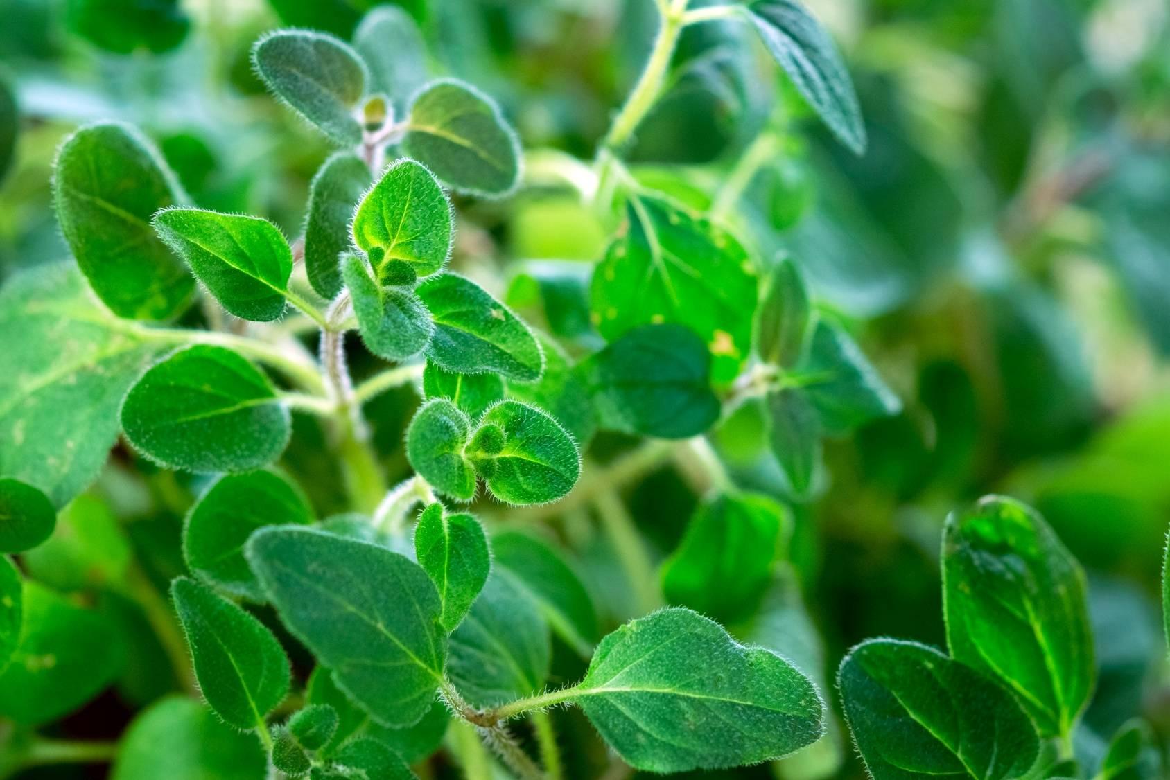 Oregano - zioła na parapecie.