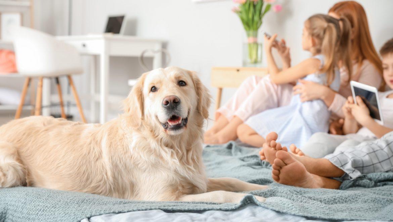 Zwierzęta domowe nie przenoszą pasożytów na dzieci i innych domowników - odpowiada lek. wet. Dorota Sumińska. Pies golden retriver leży na łóżku w sypialni obok rodziny.